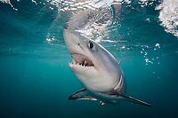 porbeagle shark, Lamna nasus, Nova Scotia, Canada, North Atlantic Ocean, (c) (dm)