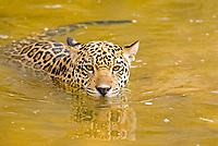 Jaguar (Panthera onca) cub swimming