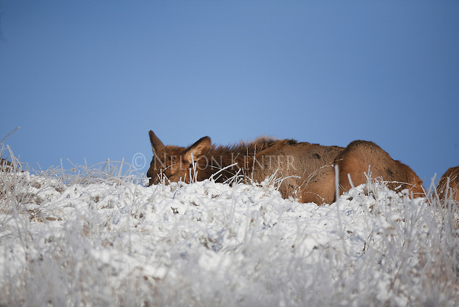 Cow Elk laying on a ridge in early winter