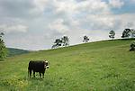 Cow standing in field...........................................