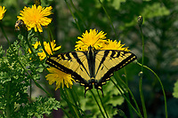 Western Tiger Swallowtail (Papilio rutulus).  Pacific Northwest.  Nectaring on false dandelion.