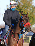 November 03 2020: Come Dancing, trained by trainer Carlos Martin, exercises in preparation for the Breeders' Cup Filly & Mare Sprint at Keeneland Racetrack in Lexington, Kentucky on November 3, 2020.