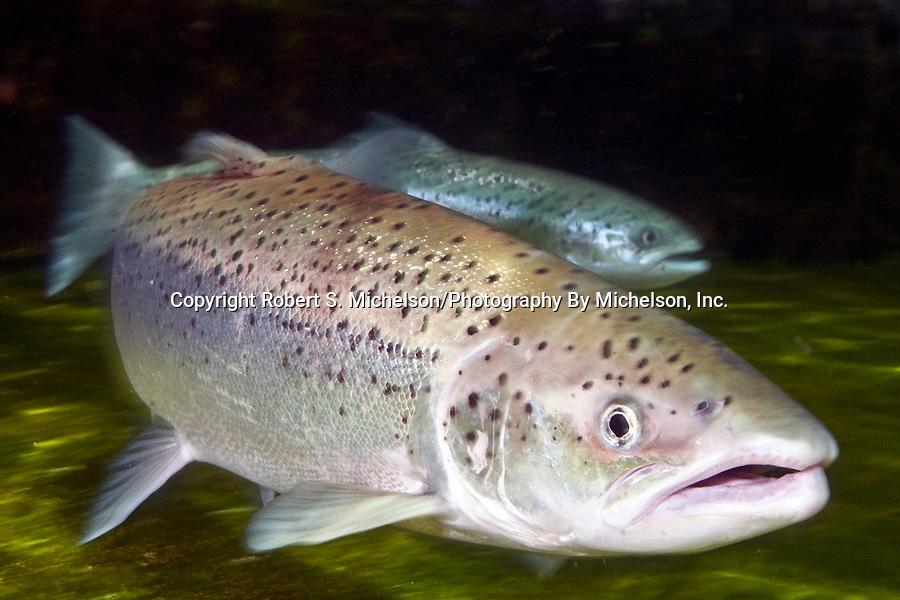 Sea-run Atlantic salmon female, close-up