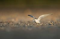 Least Tern, South Padre Island