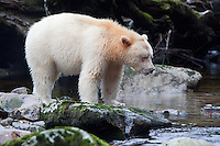 """Kermode """"Spirit"""" Bear standing on a mossy rock and watching the river"""