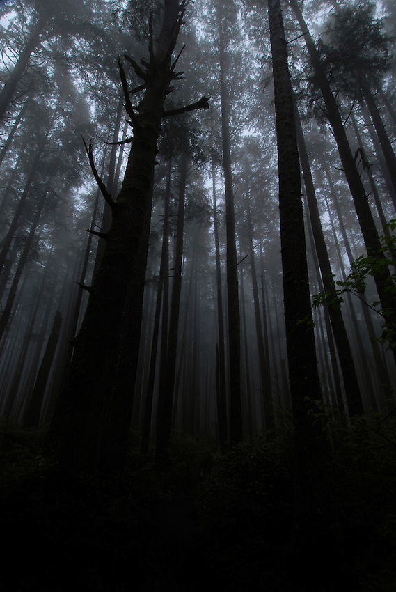 Mist in old growth forest, Olympic Peninsula, Washington.