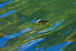 A Trout rises to an insect on the rippling lake surface
