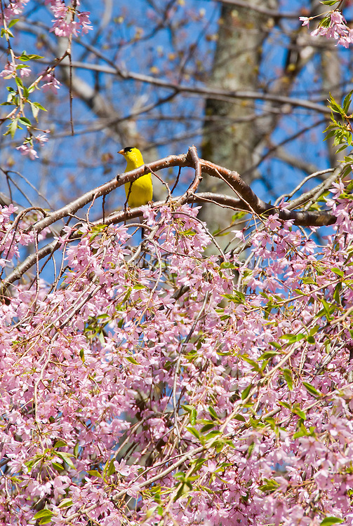 Goldfinch bird adult male in spring color in cherry tree branch in bloom Prunus
