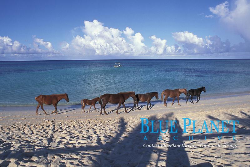 wild horses, Equus ferus caballus, on the beach, Grand Turk, Turks and Caicos