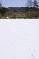 Rotfuchs, Rot-Fuchs, Fuchs, Spur, Trittsiegel, Pfotenabdrücke  im Schnee, im Winter über eine Schneefläche gelaufen, geschnürt, Vulpes vulpes, red fox
