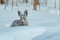 Snowshoe Hare, Alaska.