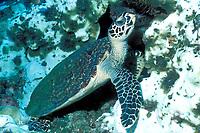 Hawksbill Turtle, Eretmochelys imbricata, Solomon Islands, Pacific Ocean