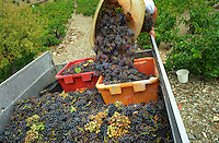 Basket of grapes (Grenache Noire with some Grenache Blanc and Muscat) being emptied on to the vineyard truck by a vineyard worker at harvest time in a vineyard in Collioure, Languedoc-Roussillon, France