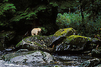 Kermode Black Bear (Ursus americanus kermodei) along small stream on Princess Royal Island, British Columbia.  Sept.
