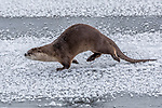 USA, Wyoming, Yellowstone National Park, North American river otter (Lontra canadensis)