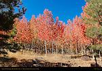 Aspens and Utah Scenic