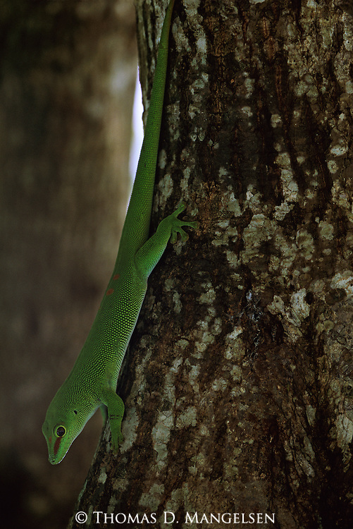 A Madagascar giant day gecko climbs down the trunk of a tree in Madagascar.