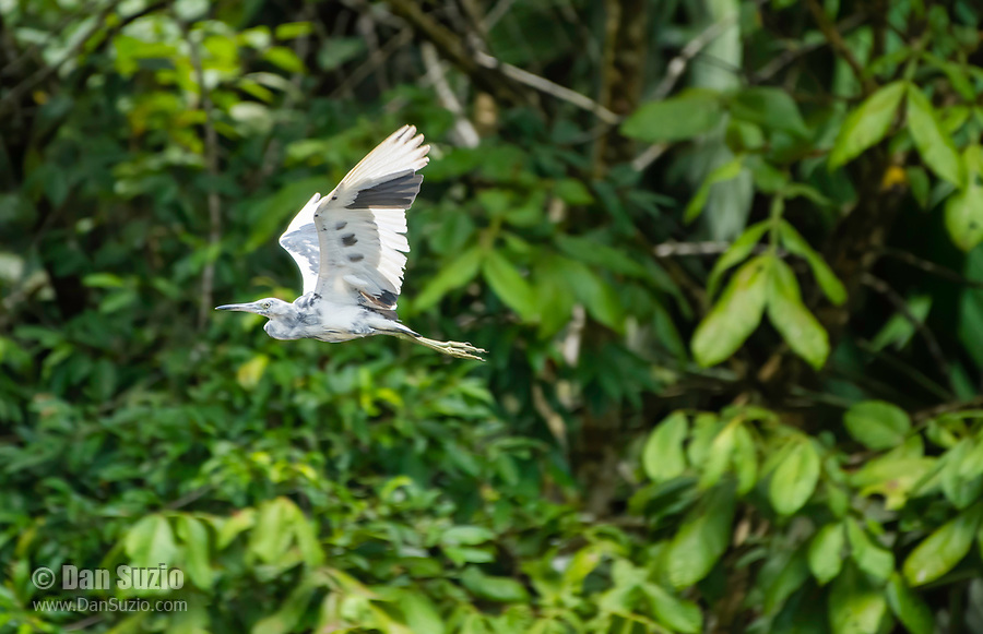 Juvenile Little Blue Heron, Egretta caerulea, flies over the Tortuguero River (Rio Tortuguero) in Tortuguero National Park, Costa Rica