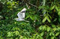 Juvenile Little Blue Heron, Egretta caerulea, flies over the Tortuguero River (Rio Tortuguero) in Tortuguero National Park, Costa Rica