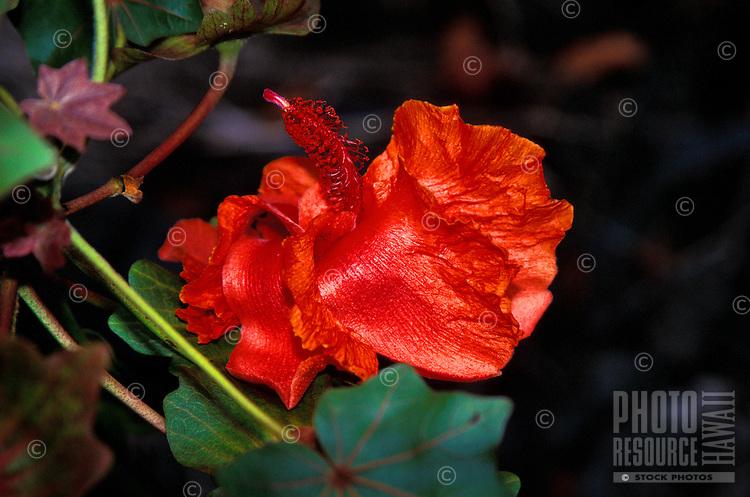The endangered kokia flower, (kokia kauaiensis). Endemic to Kauai.
