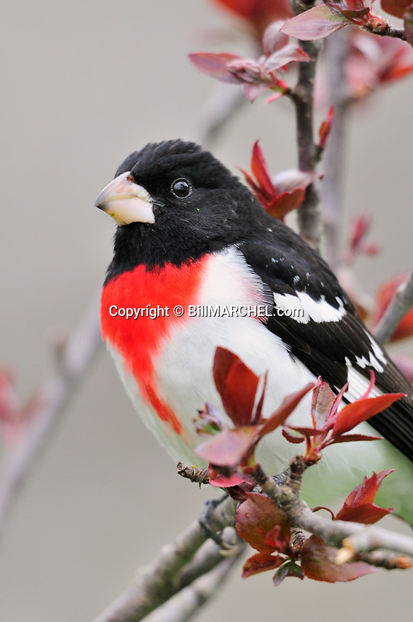00546-01405 Rose-breasted Grosbeak male is perched in crab apple tree showing new leaves.