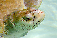 Olive Ridley turtle taking a breath, Lepidochelys olivacea, Center for sea turtle protection, TAMAR project, Arembepe, Bahia, Brazil South Atlantic