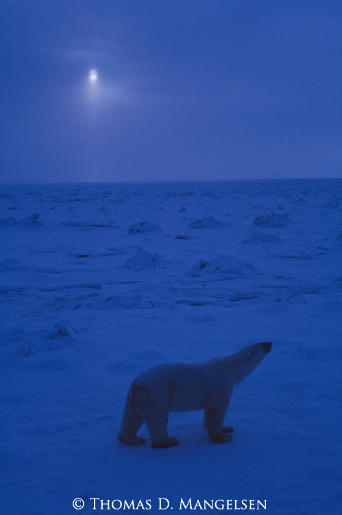 Polar bear walks on the snow in the moonlight.