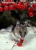 MU12-116z  Deer Mouse - eating berries - Peromyscus maniculatus