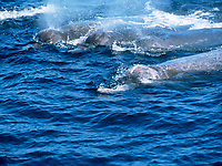 Baird's beaked whale, Berardius bairdii, cfour whales, head and some back visible at surface, Monterey Bay, California, USA, Pacific Ocean