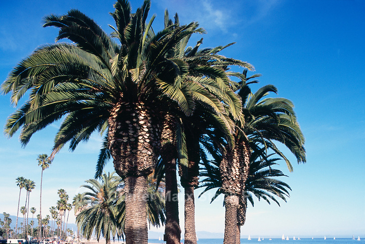 Palm Trees growing in Shoreline Park, Santa Barbara, California, USA