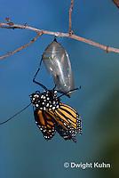 MO04-500A    Monarch emerging from chrysalis,  Danaus plexipuss