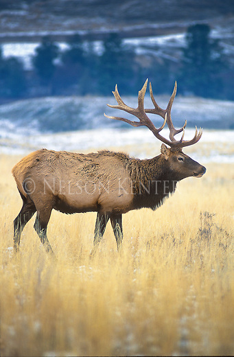Bull elk with large non typical antler growth