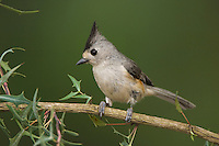 Black-crested Titmouse, Baeolophus atricristatus, adult on Agarita (Berberis trifoliolata), Uvalde County, Hill Country, Texas, USA, April 2006