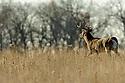 00274-304.15 White-tailed Deer Buck with large antlers is on ridge in meadow between two woodlots.  Hunt, bottleneck, rut, travel.