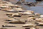 San Simeon, California; Northern Elephant Seal (Mirounga angustirostris), juveniles and adult females on the beach to molt in April