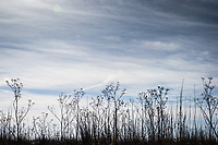 Flowers, past their prime, skeletons, under a Northern California winter sky.
