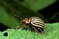 1C28-016z  Colorado Potato Beetle - larva - Leptinotarsa decemlineata