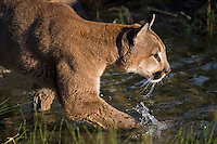Mountain Lion splashing through some water - CA