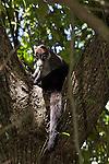 Coati in a tree, Manual Antonio National Park, Costa Rica