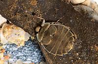 Grundwanze, Grund-Wanze, Aphelocheirus aestivalis, River Bug, stream dwelling bug