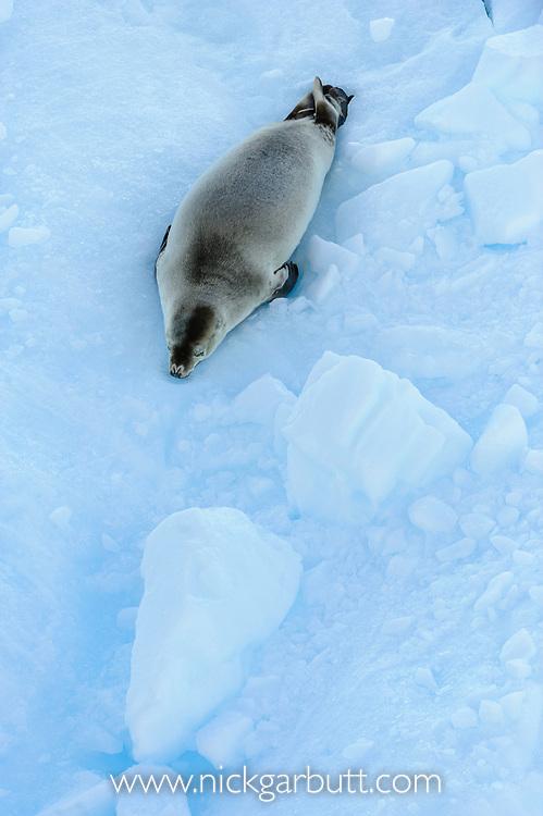Crab-eater Seal (Lobodon carcinophaga) on ice floe. Vernadsky, Antarctic Peninsula, Antarctica.