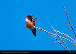 Allen's Hummingbird Male Scratching, Sepulveda Wildlife Refuge, Southern California