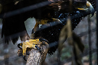 The talons on one leg of a Golden Eagle, photographed  at a wildlife rescue facility in northern California.
