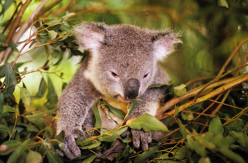 Australia. Young koala bear eating eucalyptus leaves..