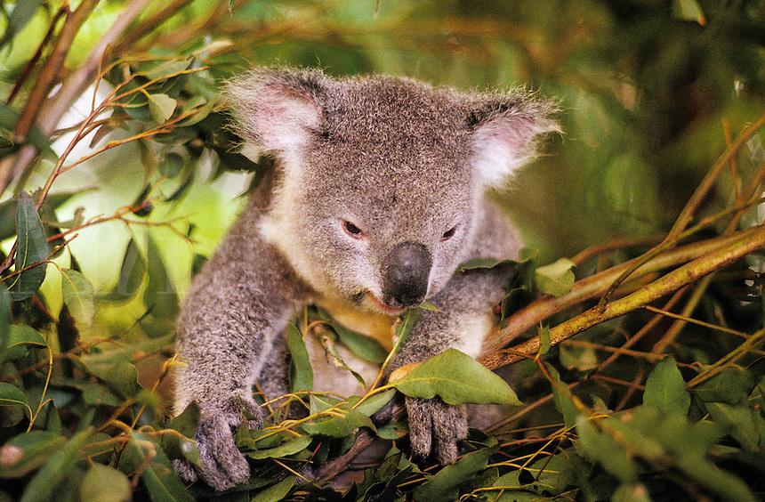 Australia. Young koala bear eating eucalyptus leaves..