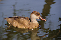 Kolbenente, Kolben-Ente, Weibchen, Netta rufina, red-crested pochard