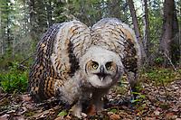 Fledgling Great Horned Owl (Bubo virginianus) in defensive posture. Alberta, Canada. May.