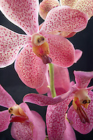Close up of Makara Orchid.