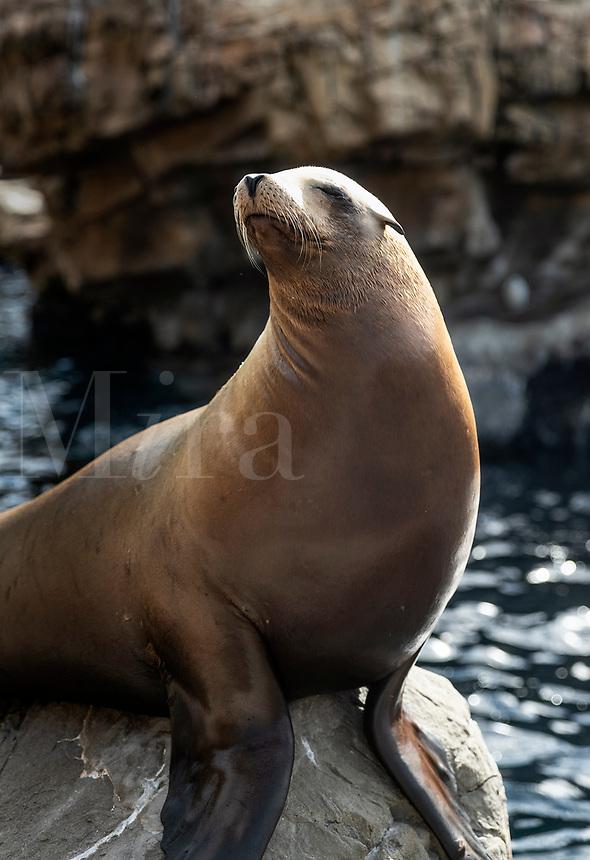 Portrait of a sea lion, Otariinae.