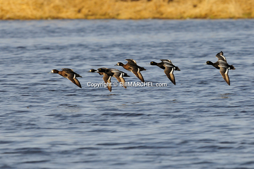 00342-013.02 Lesser Scaup flock in flight low over the water.  Bluebill, hunt, waterfowl, wetland.